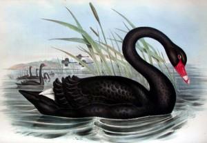 gould-blackswan
