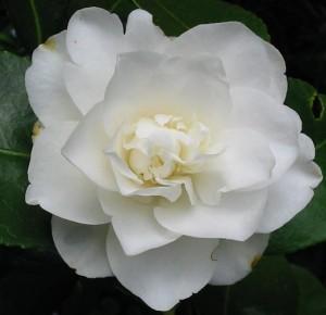 camellia-pure-white